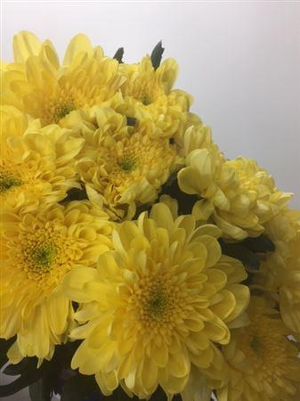<h4>Chr G Zembla Yellow</h4>