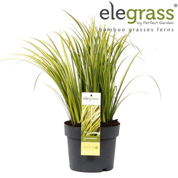 <h4>Acorus gramineus ogon - Elegrass</h4>