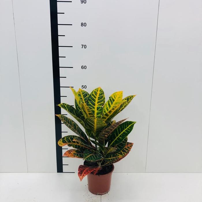 Croton petra