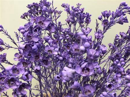 <h4>Wax Flower Milka</h4>