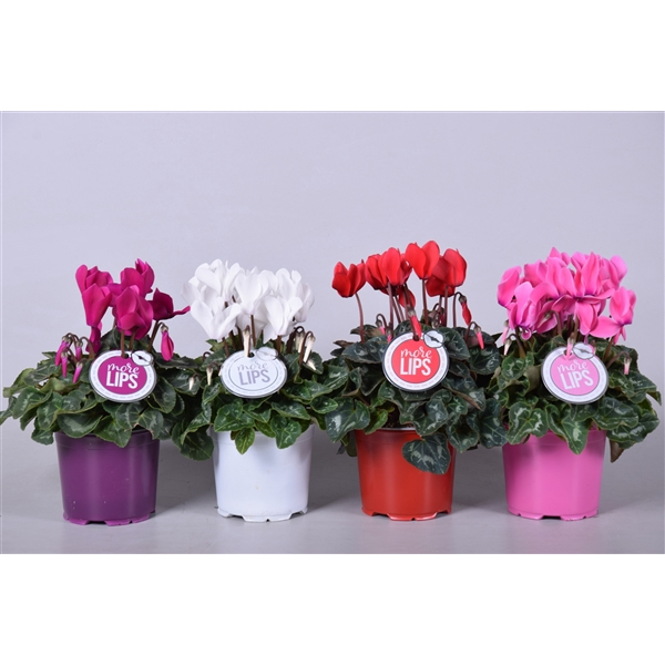 <h4>MoreLIPS® Cyclamen mix</h4>