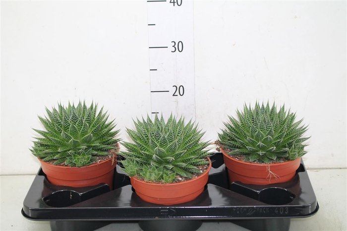 <h4>Aloe Aristata Magic</h4>