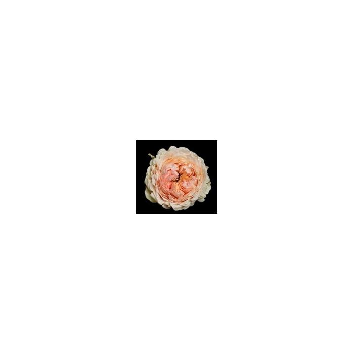 <h4>Rosa Gr. DFR113</h4>