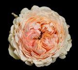 Rosa Gr. DFR113
