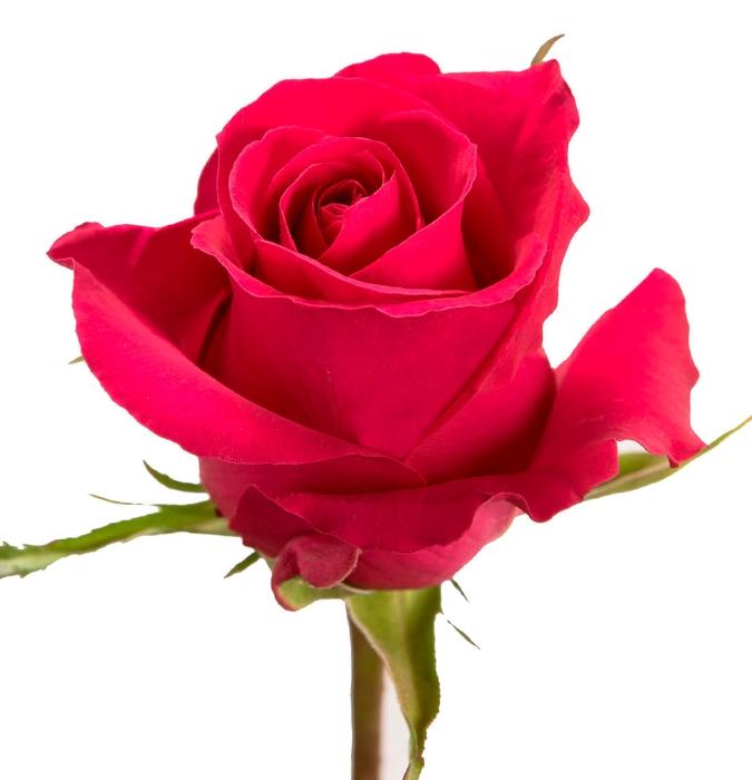 <h4>Rosa gr Gotcha (Nevado)</h4>