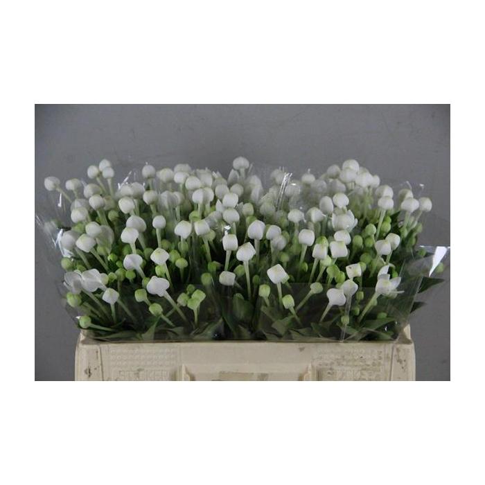 <h4>Bouvardia Longiflora Wit</h4>