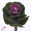 Brassica Olga