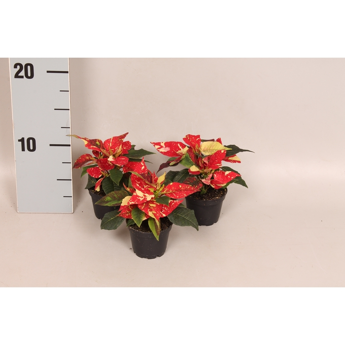 <h4>Poinsettia 6  cm Christmas Feelings® Glitter 2/4 kopper</h4>