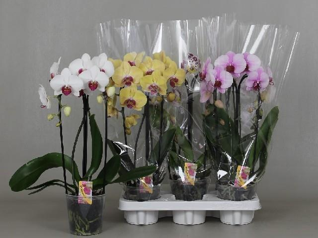 <h4>Phalaenopsis mix cascade</h4>