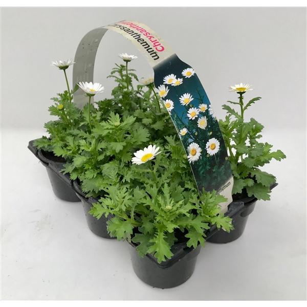 <h4>Chrysanthemum paludosum 6p</h4>