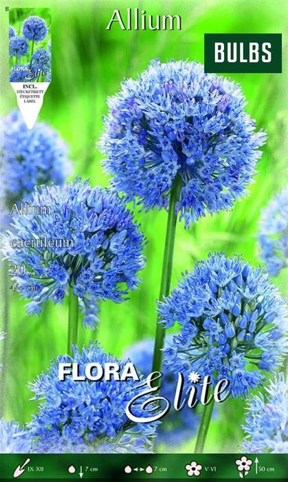 Z Allium Caeruleum