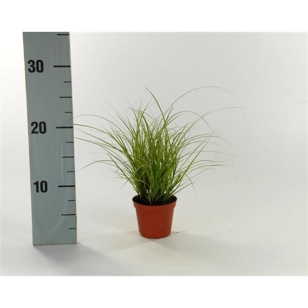 <h4>Carex brunnea 'Jubilo' p8</h4>