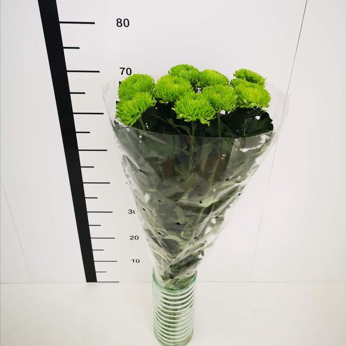 <h4>Chrysanthemum monoflor bomber green</h4>