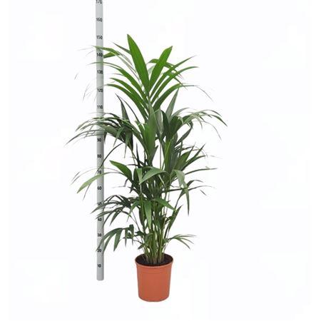 <h4>Howea Forsteriana</h4>