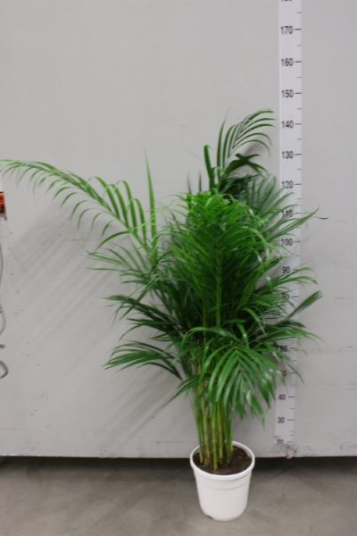<h4>Dypsis lutescens   ...Chrysalidoca</h4>