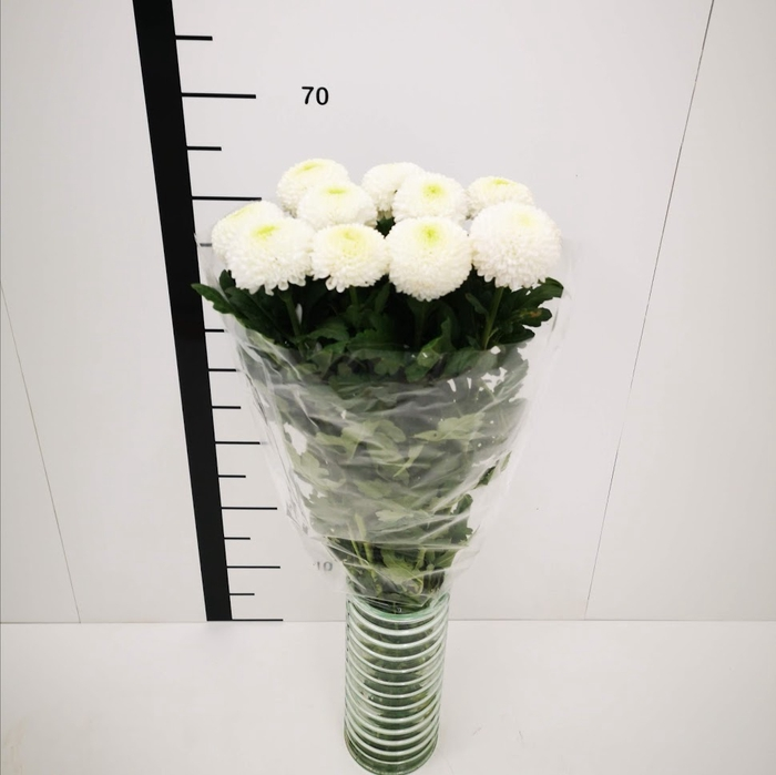 Chrysanthemum monoflor boris becker blanco