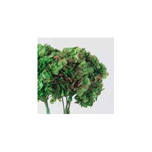 Hydrangea / Hortensia Nat.Green / Red HRT/2120