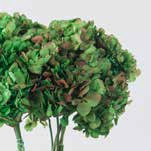 <h4>Hydrangea / Hortensia Nat.Green / Red HRT/2120</h4>