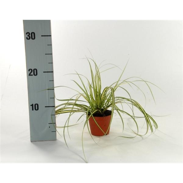 <h4>Carex 'Evergold' p8</h4>