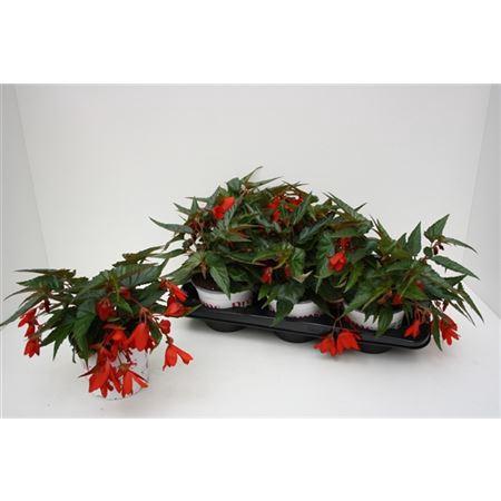 <h4>Begonia Waterfall Encanto Red</h4>