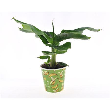 <h4>Musa Tropicana Potcover Banana</h4>