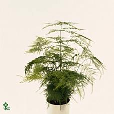 Asparagus Plumosus 6Ø 15cm