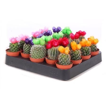<h4>Cactus Mini Gemengd Disco Bloem</h4>