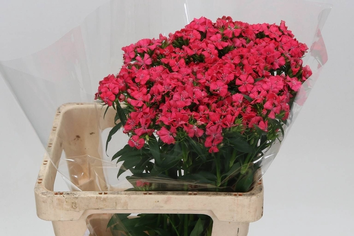 <h4>Duizendschoon Sweet Will Coral</h4>