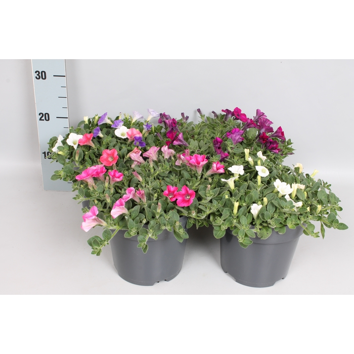 <h4>Perkplanten 19 cm Petunia Diverse</h4>