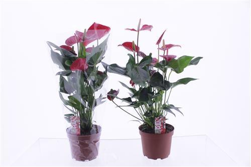 <h4>Anthurium Felicita</h4>