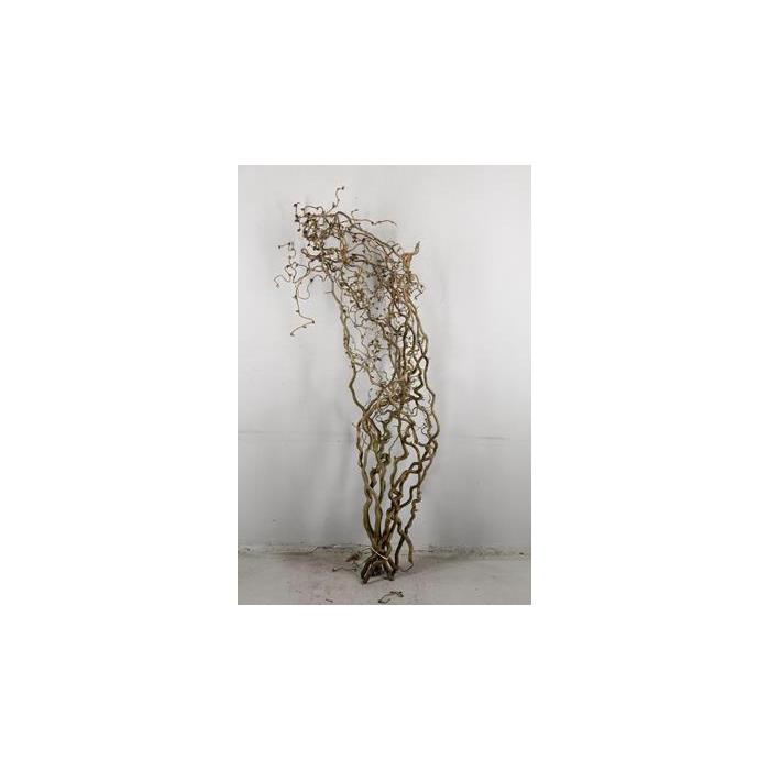 <h4>Corylus (2 Jarig)</h4>
