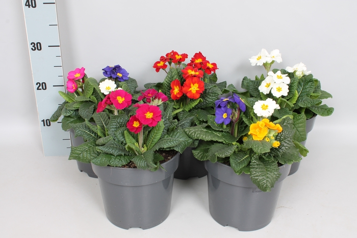 vaste planten 19 cm  Primula Elatior Diverse