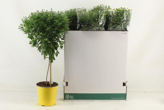 <h4>Chrysanthemum 19Ø 65cm</h4>