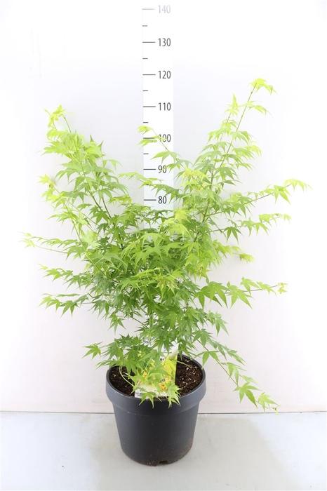 <h4>Acer Palmatum 'aoyagi'</h4>