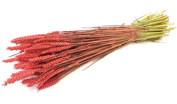 <h4>Triticum (tarwe) per bunch Cerise</h4>
