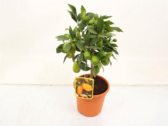 <h4>Citrus Limequat Stem</h4>