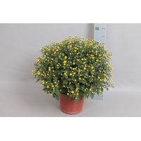 <h4>Bol chrysant Jasoda dark Yellow</h4>
