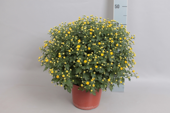 Bol chrysant Jasoda dark Yellow