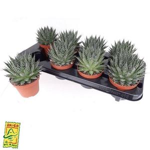 Aloe Zambezi 10,5Ø 17cm
