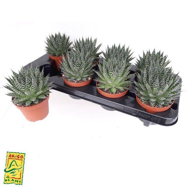 <h4>Aloe Zambezi 10,5Ø 17cm</h4>