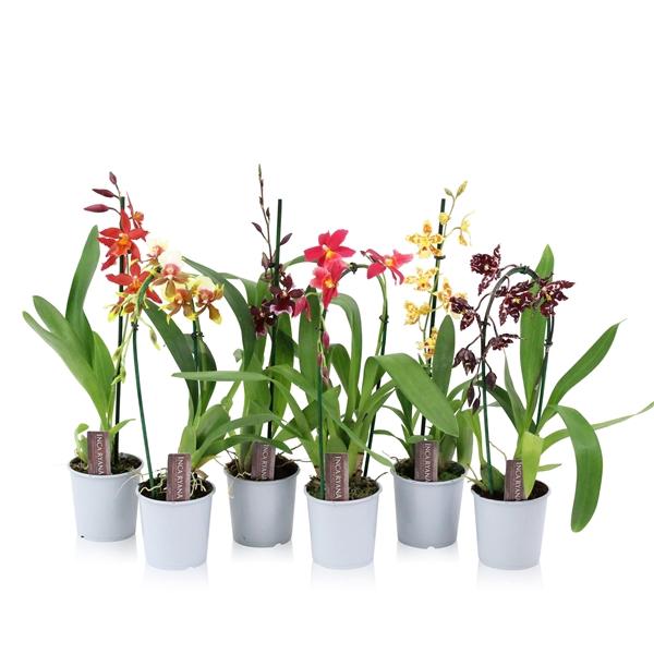 <h4>Orchidee mix Inca Ryana 1T</h4>