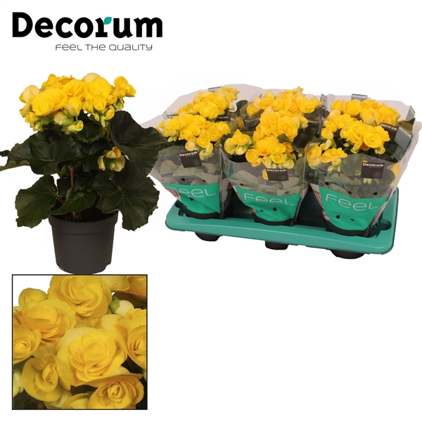 <h4>Begonia ''rebecca'' geel 13cm Decorum</h4>