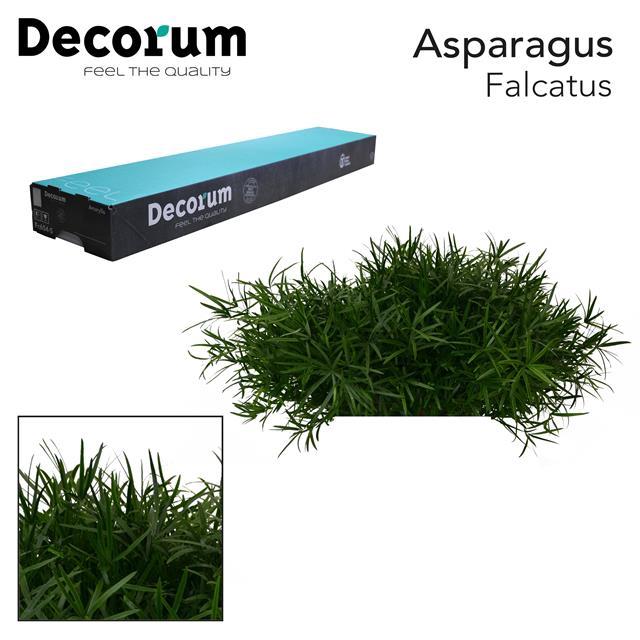 <h4>ASP falcatus 45cm box dc</h4>