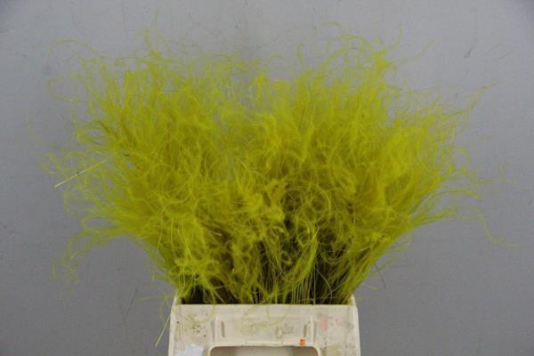 <h4>Df Stypha 40cm Bs Yellow</h4>