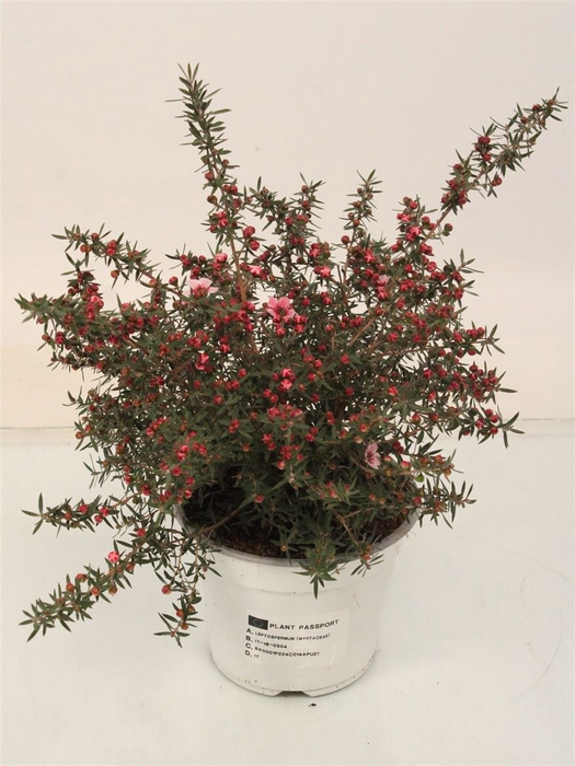 <h4>Leptospermum Scoparium Rose</h4>