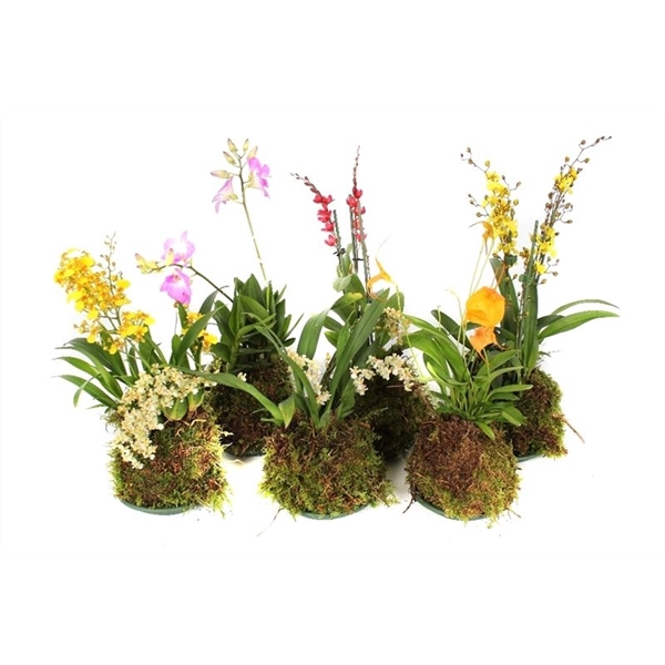 <h4>Orchidee mix forest</h4>