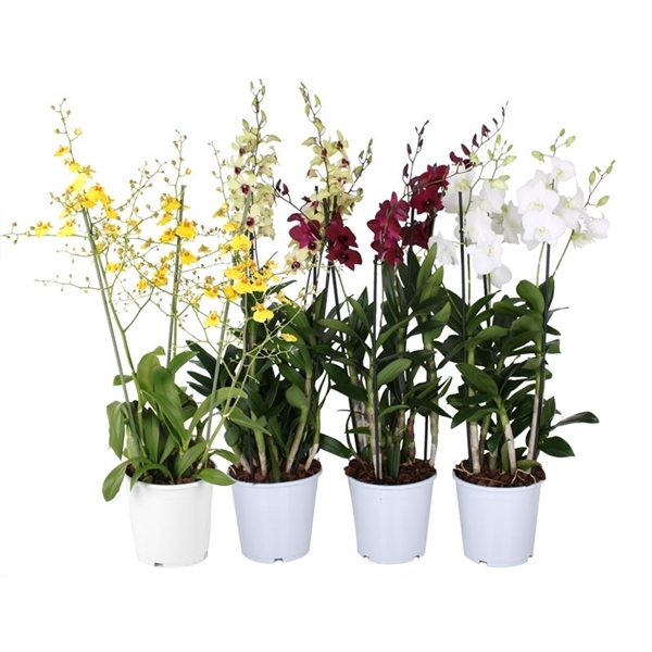 <h4>Orchidee mix 3t toef 3 pp</h4>