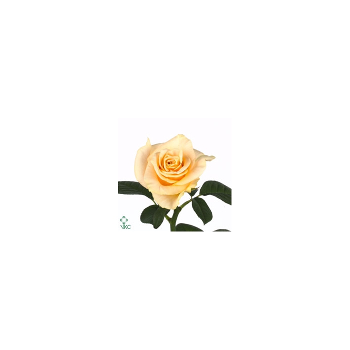 <h4>Rosa Gr. Charmant</h4>