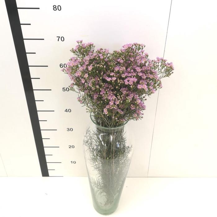 <h4>Flor de cera rosa abierta</h4>