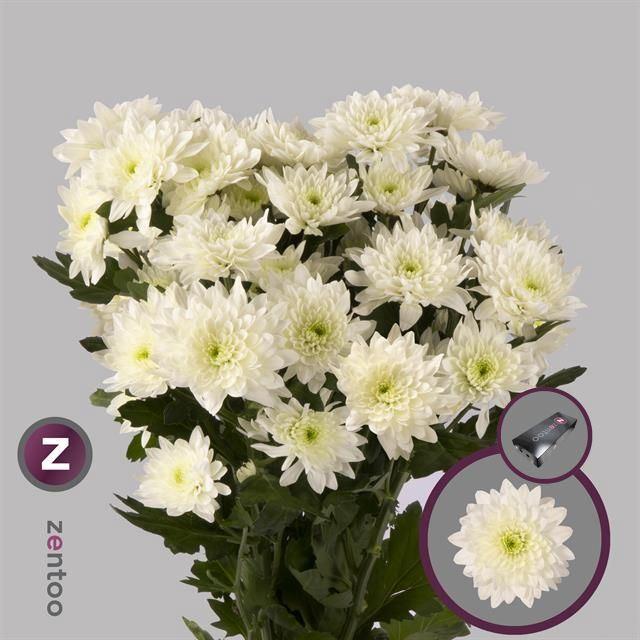 <h4>Chrysanthemum TR Pastela Cava</h4>
